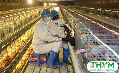 Chăn nuôi gia cầm trong chuồng kín